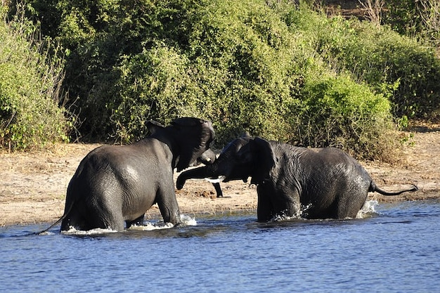 Fight elephant water river rivals