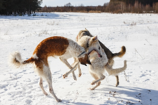 Fight of two hunting dogs of a dog and a gray wolf in a snowy field.