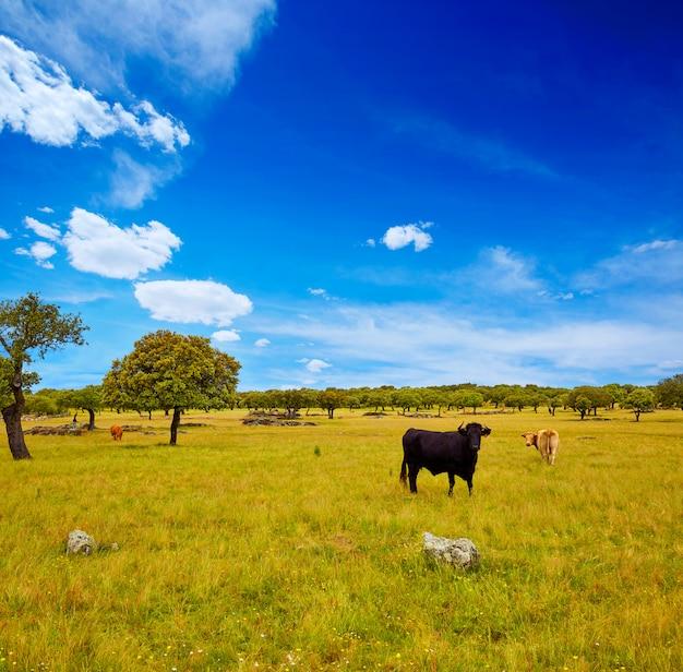 Fighting bull grazing in extremadura dehesa