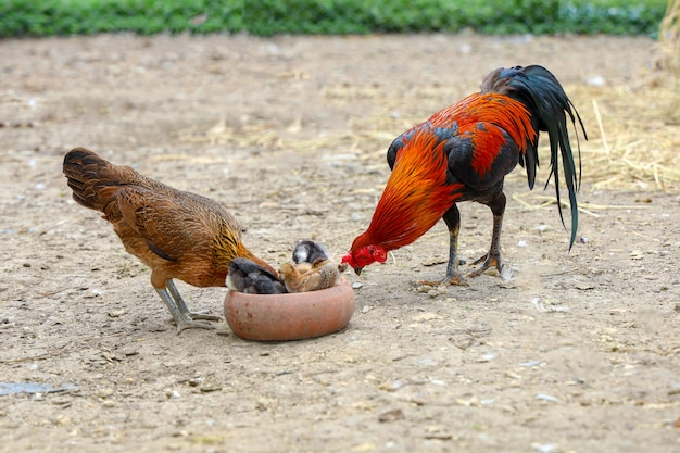 Fighting cock and baby cock eat food in farm at thailand