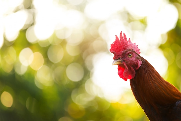 A fighting cock,the traditional rooster of asian.