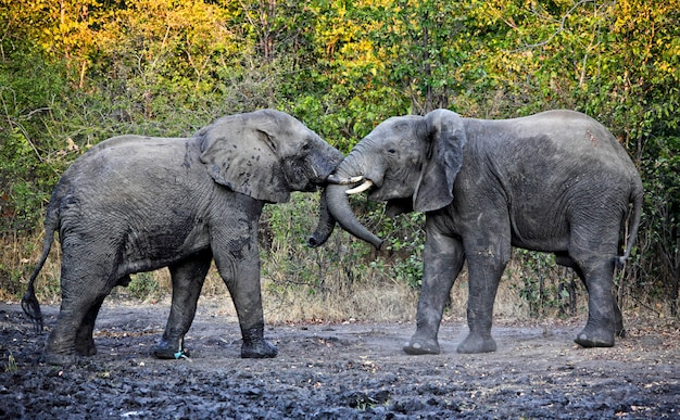 Fighting elephants in african savana