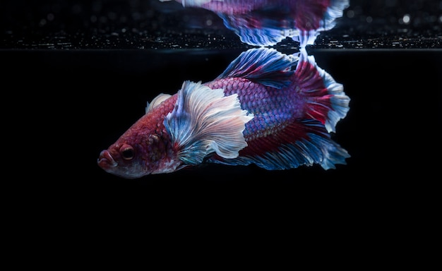 Fighting fish (betta splendens) fish with a beautiful array