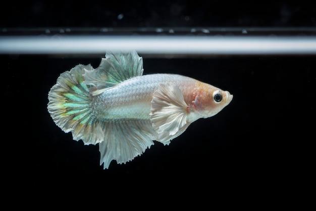 Fighting fish (betta splendens) fish with a beautiful