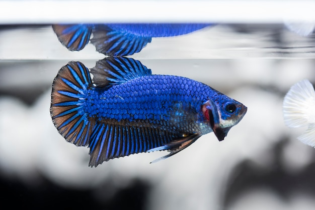 Fighting fish (betta splendens) fish with a beautiful