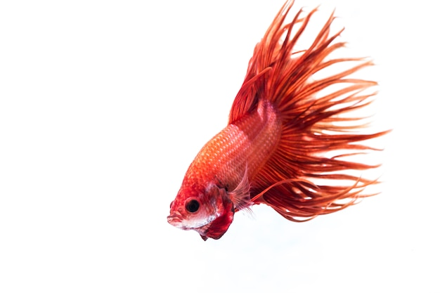 Fighting fish (betta splendens)