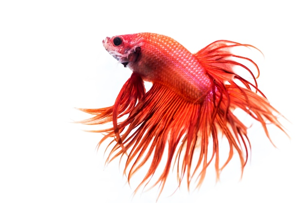 Fighting fish (betta splendens)