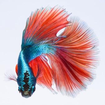 Fighting fish, colorful background, halfmoon betta fish, siamese fighting fish