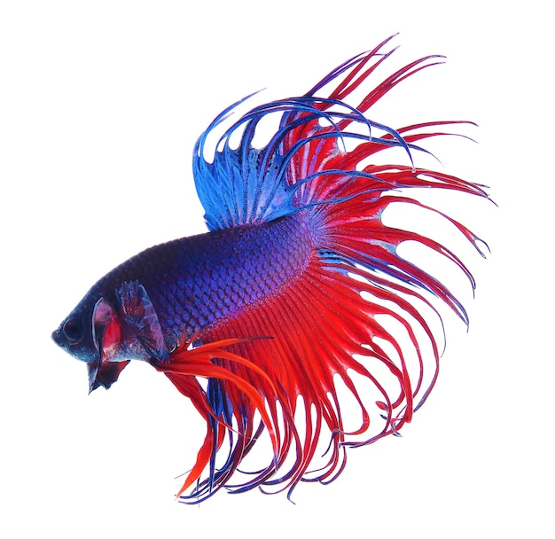 Fighting fish.colorful dragon fish. isolated on white. betta splendens