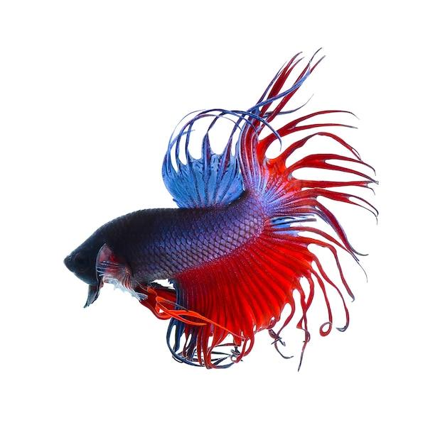 Боевые рыбы. красочная рыба-дракон