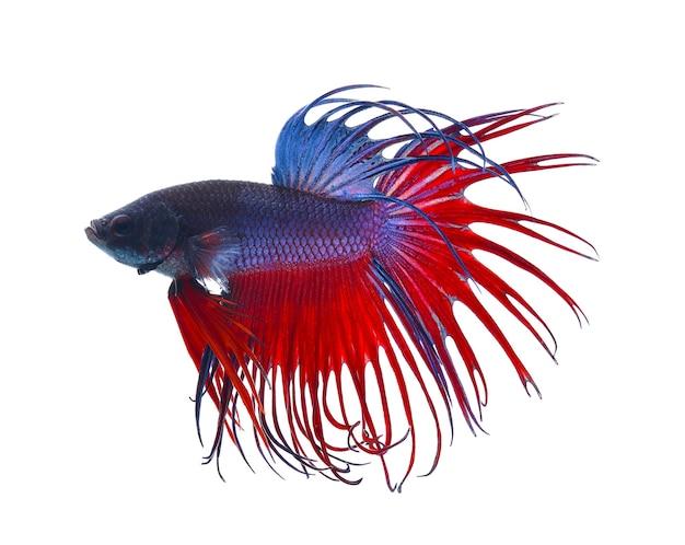 戦う魚。カラフルなドラゴンフィッシュ