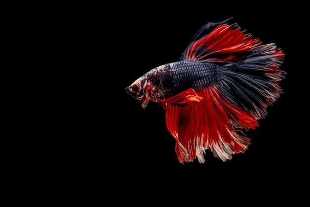 Fighting fish isolated on black