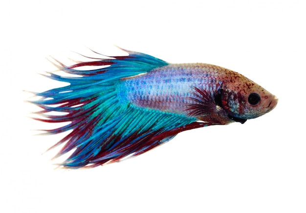Fighting fish isolated on white