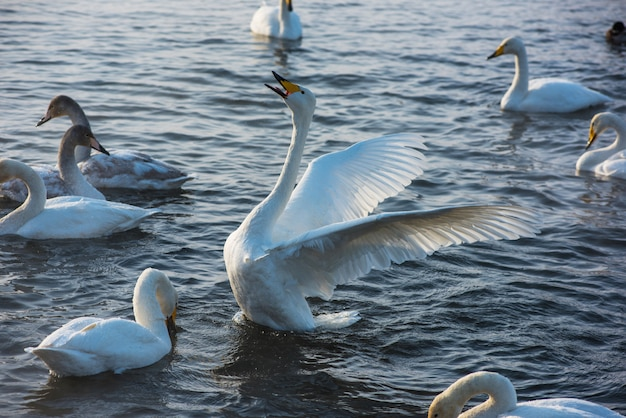 Fighting white whooping swans