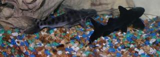 Fila and juru catfish