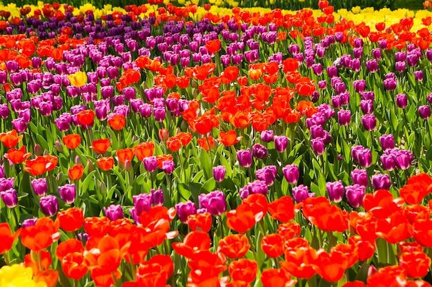 Подано из красных желтых тюльпанов в весеннее время