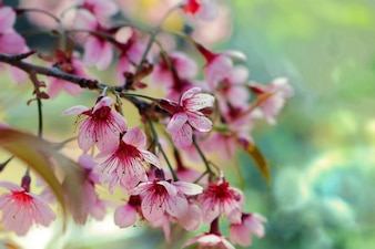 Filter background image of cherry blossom or Sakura flowers in spring time