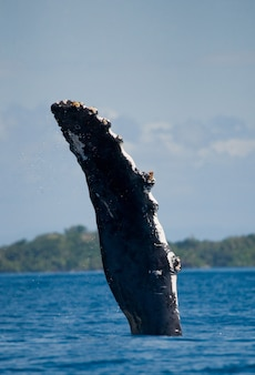 The fin humpback whale. madagascar. st. mary's island.