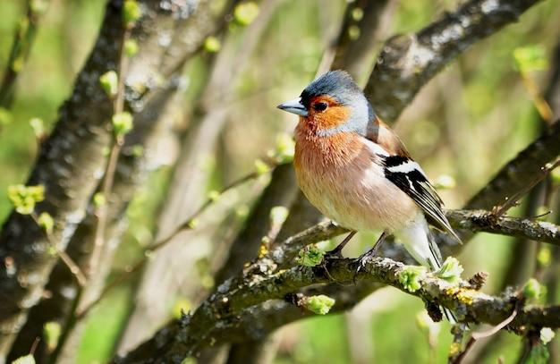 フィンチ鳥は明るい春の緑の表面の木の枝に座る