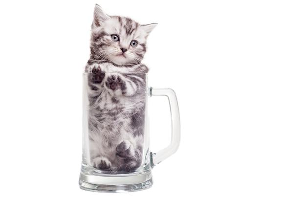 В поисках хорошего места. милый котенок шотландской вислоухой сидит в пивной кружке и смотрит в сторону