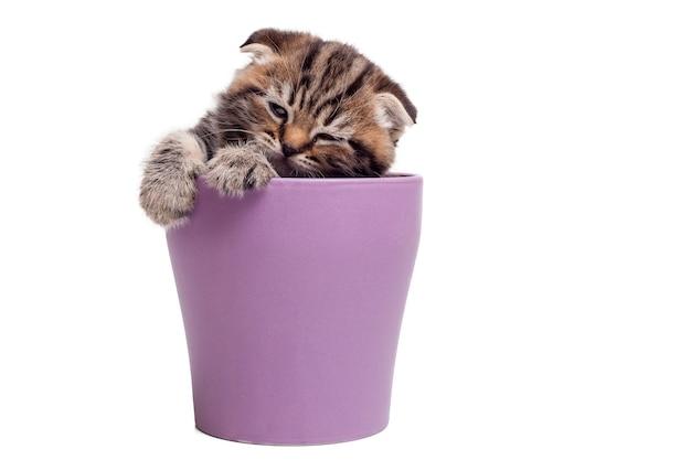 Найти спокойное место для сна. милый котенок шотландской вислоухой сидит в пивной кружке и смотрит в сторону