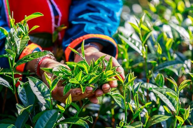 Листья зеленого чая хорошего качества в руке старушки-садовника
