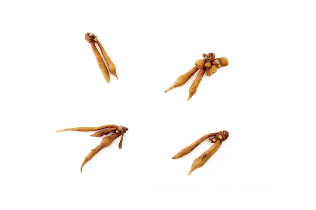 Finger root rhizome isolated on white background textured for banner design