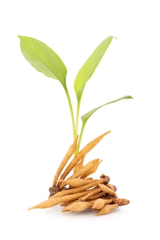 Fingerroot or galingale rhizome isolated on white background with clipping path.