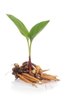 Fingerroot or galingale rhizome and tree isolated on white background.
