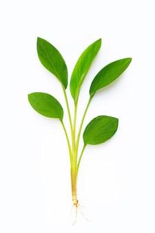 Листья корня пальца на белой предпосылке.