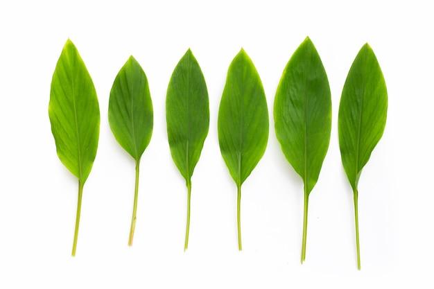 Fingerroot leaves on white background.