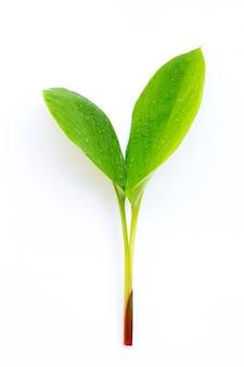 Fingerroot leaves on white surface