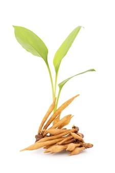 클리핑 패스가 있는 흰색 배경에 격리된 핑거루트 또는 갈링게일 뿌리줄기.