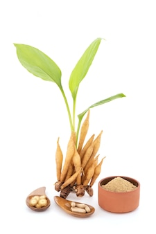 흰색 배경에 고립 된 fingerroot 또는 galingale 뿌리 줄기