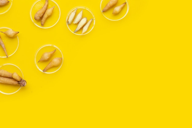Fingerroot in petri dishes on yellow background.