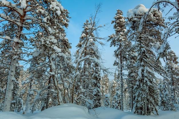 フィンランド。日冬の森。地面と木の枝にたくさんの雪
