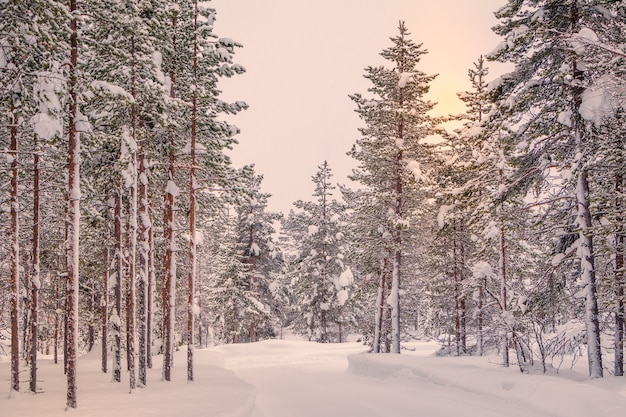 핀란드 라플란드. 소나무 숲에 많은 눈이 있습니다.