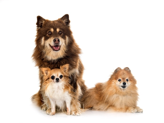 Finnish lapphund, spitz and chihuahua in front of white background