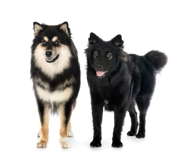 Finnish lapphunds isolated on white