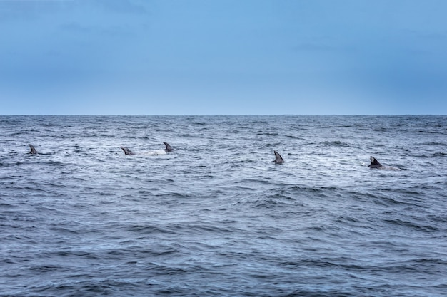 Fins in a row. school of dolphins in the pacific ocean