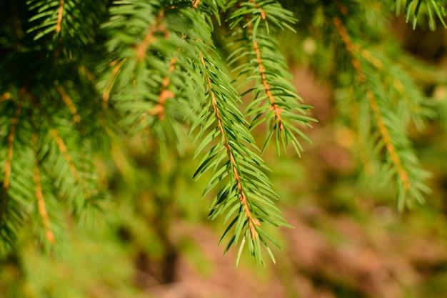 Fir branch blurred