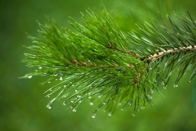 이슬이 있는 전나무 가지가 녹색 배경에 떨어진다. 디자인에 대한 퍼지 질감 배경
