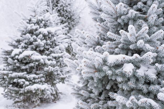 공원에서 겨울에 눈에 전나무 가지와 바늘