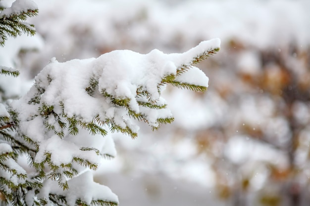 Fir branches covered with fresh snow, falling snowflakes, winter surface