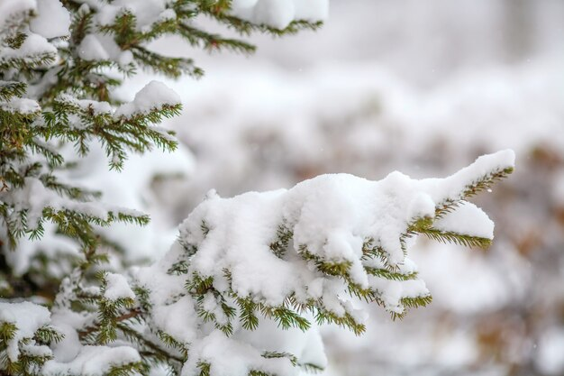 Fir branches covered with fresh snow, falling snowflakes, winter wall