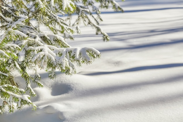 Fir branches covered with fresh snow, winter surface