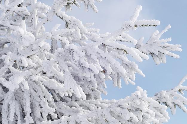 青い空を背景に雪の中でモミの枝