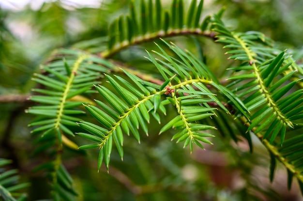 전나무 회사. 아름다운 식물원. 아름다운 녹색 식물. 아비스 페르마.