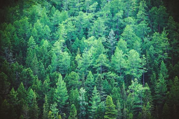 위에서 전나무 숲 보기 - 숲의 아름다운 자연. 국립 공원의 광야에 있는 오래된 가문비나무, 전나무, 소나무 숲에 있는 건강한 녹색 나무.