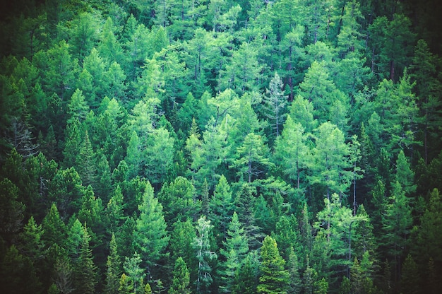 Fir forest view from above - beautiful nature of forest. healthy green trees in a forest of old spruce, fir and pine trees in wilderness of a national park.